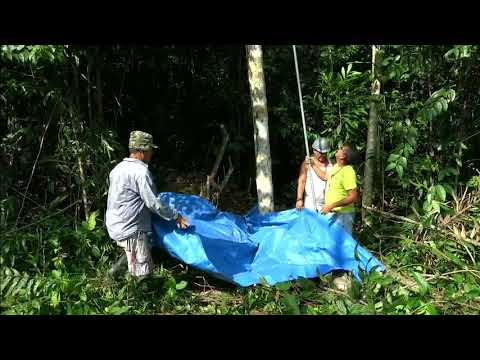 Coletas de cachos de bacaba (Oenocarpus bacaba Mart.) usando a PALMHASTE