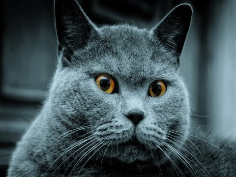 Blue Russian Cat Breed | Impressive Physical and Behavioral Characteristics of Blue Russian