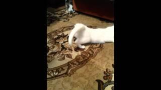 Кошка получает искусственный оргазм