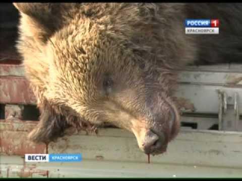 В Ачинском районе медведица растерзала двух грибников