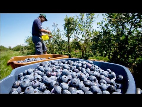 Awesome Fruit Agriculture Technology - Blueberry Cultivation - Blueberry Farm And Harvest