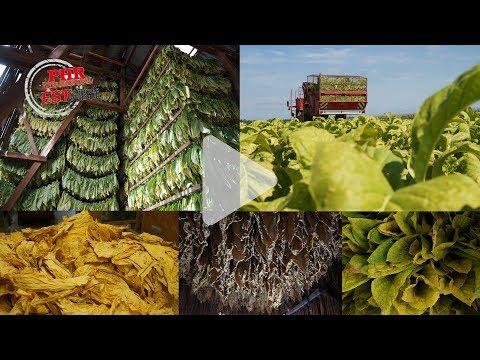 Culture du tabac en Alsace : une modernisation spectaculaire