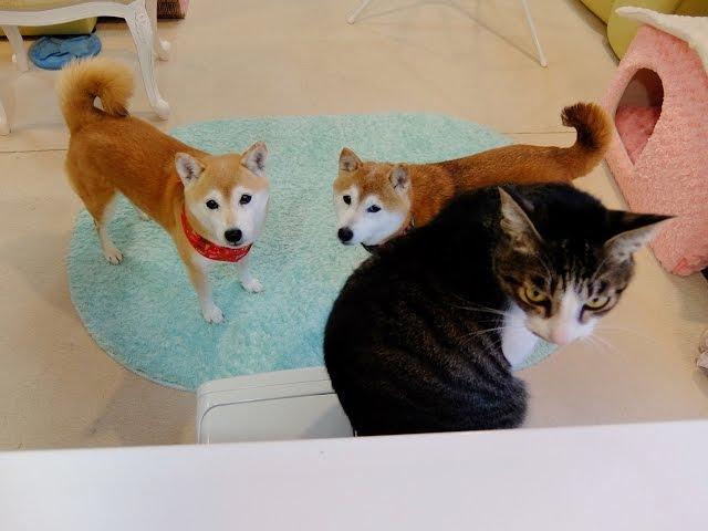 ファンヒーター前が満員で困惑する柴犬ひかり Shiba Inu and Cat