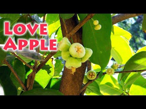 Chambakka (Syzygium samarangense)