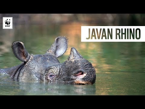 There are only 67 Javan rhinos left on Earth | WWF-Australia