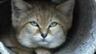 What is a SAND CAT???