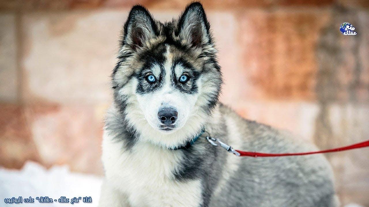 10 حقائق هامة يجب ان تعرفها قبل شراء كلب هاسكي Youtube