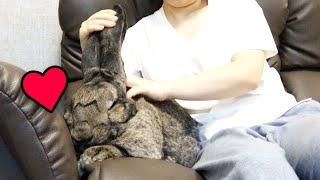 Giant Rabbit Loves Couch!ジャイアントうさぎはソファーが大好き