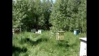 Лесная пасека.Майский мед..avi(, 2012-05-29T13:56:15.000Z)