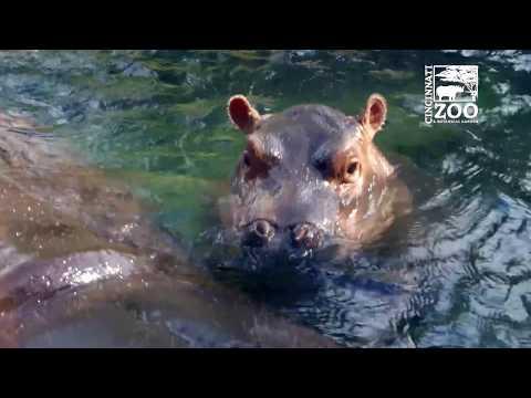 Baby Hippo Fiona is 6 Months Old - Cincinnati Zoo