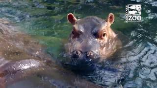 Baby Hippo Fiona is 6 Months Old - Cincinnati Zoo thumbnail