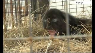 Черная пантера в Барнауле: первое видео котёнка