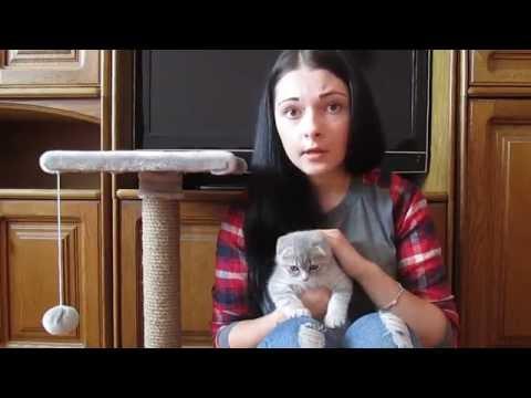 Как приучить шотландскую кошку к лотку