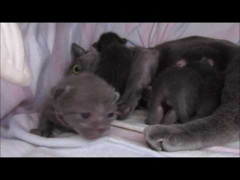 Korat cats are no Russian blue (II), Kitten