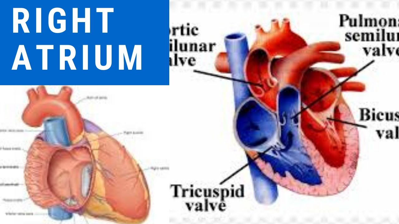 Learn Right Atrium of Heart whole concept with the easiest ...