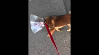 Shiba walking in pain after castration