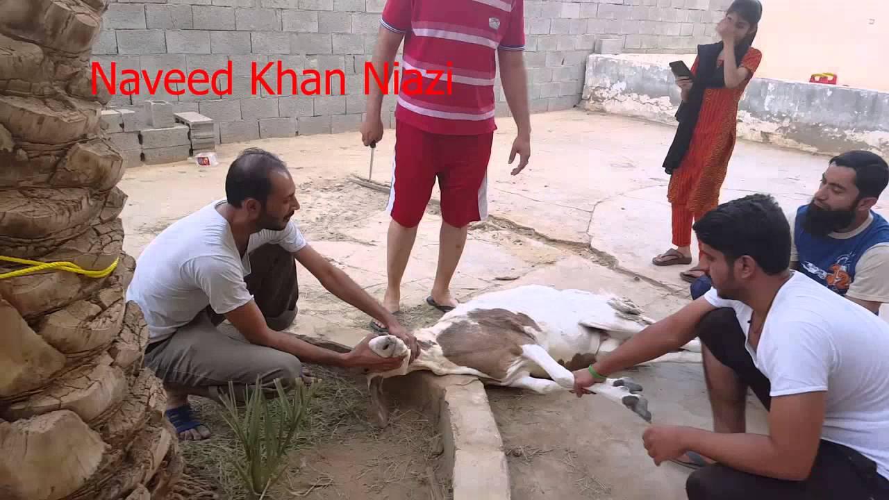 Bakra Ki Qurbani in KSA