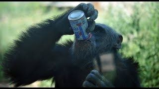 Cute Monkeys Part #88 - When the Chimpanzee feels HOT and Thirsty