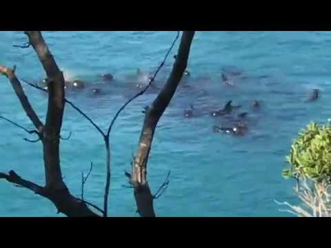 Nursery pod of pilot whales trapped in the cove in taiji