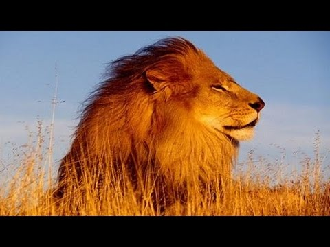 African Music Instrumental - African Lions