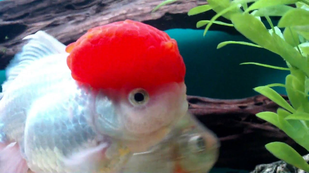 The Coolest Goldfish On The Planet Youtube