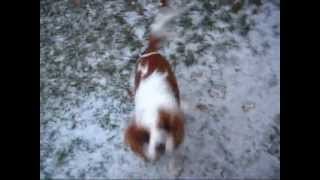 Cavalier King Charles Spaniel Puppy Indy's First Snow