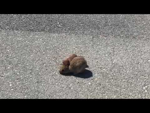 Weasel attacks Rabbit