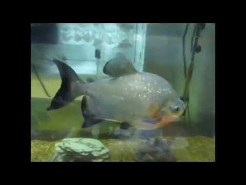 Red Belly Pacu 2 Weeks And 1 Year Old
