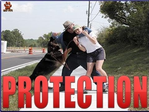 The best Protection Trained Dogs- Malinois-german shepherd