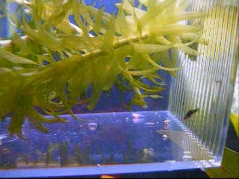 Red Platy Fry At 1 Month Old