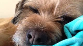 Sophie The Border Terrier: Sleepy Head