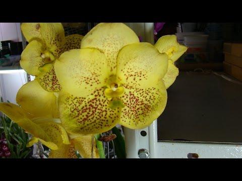 Орхидея Ванда - 1.Уход и полив. Фалинопсис, Мильтония, Дендробиум, Камбрия, Цимбидиум, Пафиопедилум.