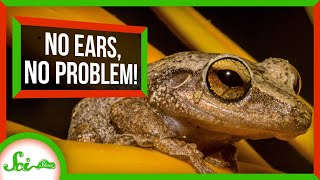 No Ears, No Problem: Frogs Can Hear With Their Lungs