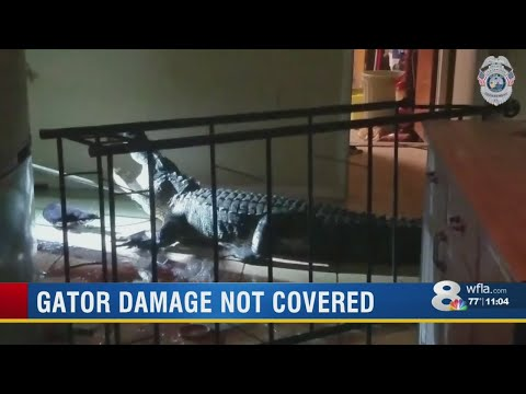 Lynch and Taco - Florida Homeowners Insurance Claim Denied After Alligator Rampage