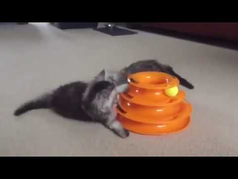 Gorgeous Maine Coon Kittens, playing with their new toy!
