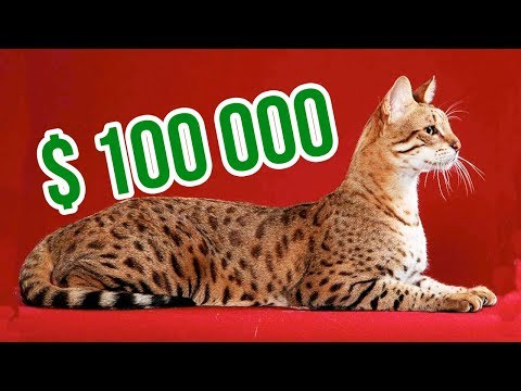 Meet Ashera The Rarest Cat In The World Youtube