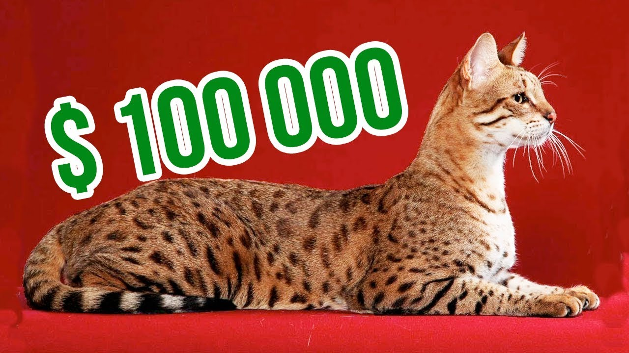 THE MOST EXPENSIVE CAT BREEDS In The World