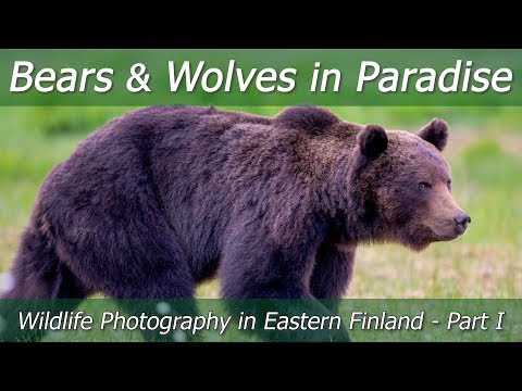 BEARS And WOLVES In Paradise | Wildlife Photography In Eastern Finland - Part 1 | Nikon Z7