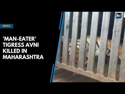 'Man-eater' tigress Avni killed in Maharashtra