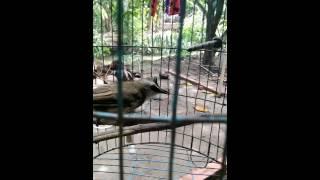 Hoành hoạch mòi. Đây mới là chim mòi