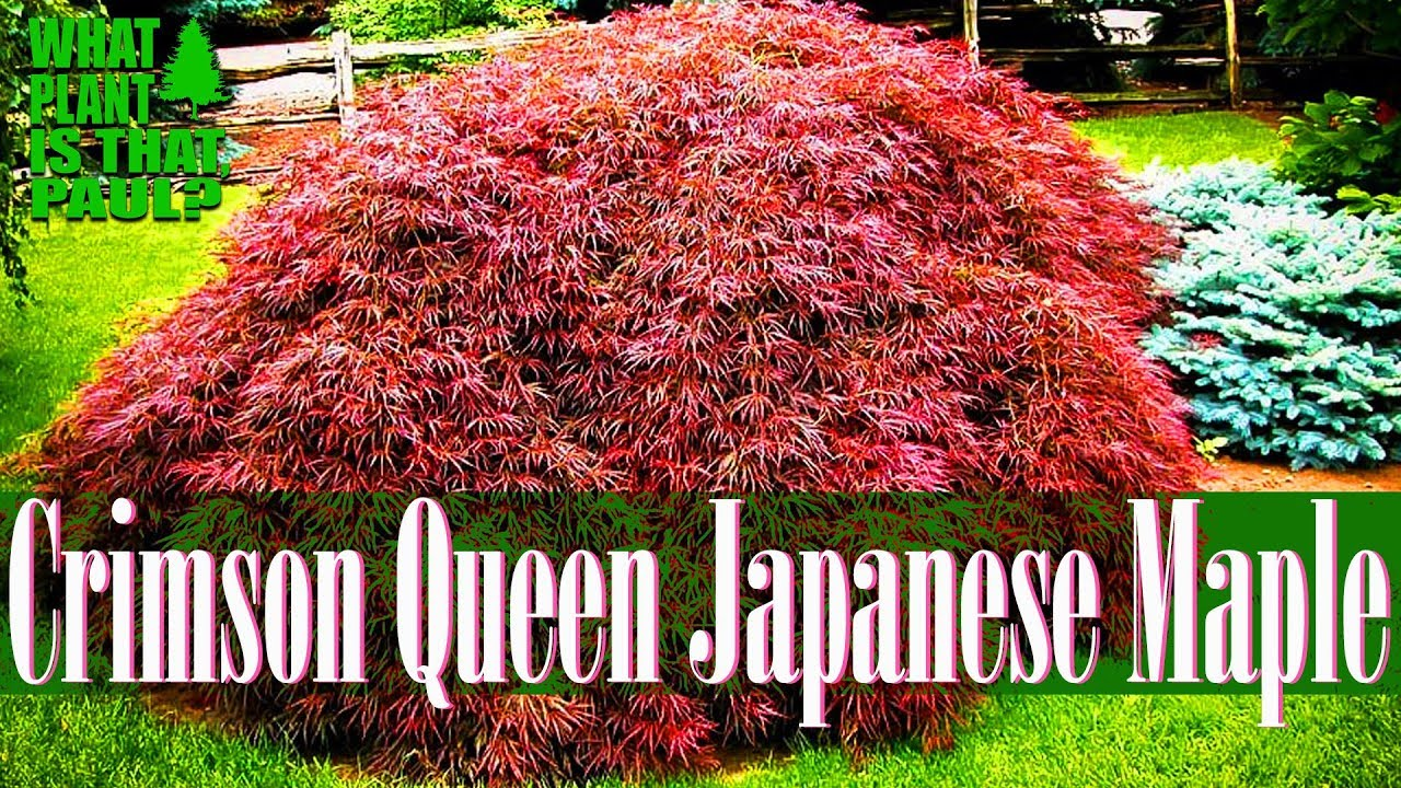 Crimson Queen Japanese Maple One Of The Prettiest Dwarf Trees