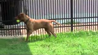 Mocha, An American Pit Bull Terrier Mix