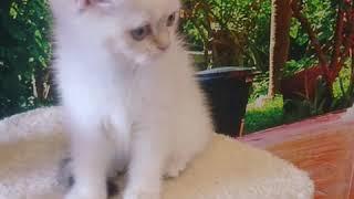 Британский котенок золотой колор поинт, мальчик