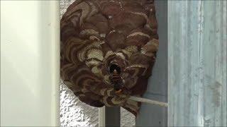 北塩原村でスズメバチ駆除- 温泉ホテルでエアコンの室外機に蜂の巣! thumbnail
