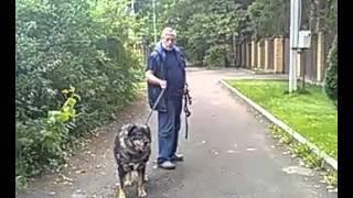 Дрессировка собак. Пожилые собаки тоже обучаются. ч.2