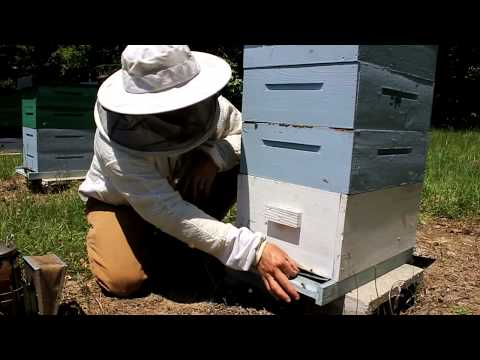 How to treat honey bees for Varroa Mites with Mite Away Quick Strips (MAQS)