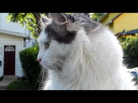 Turkish Van Cat FUN Walking my Van
