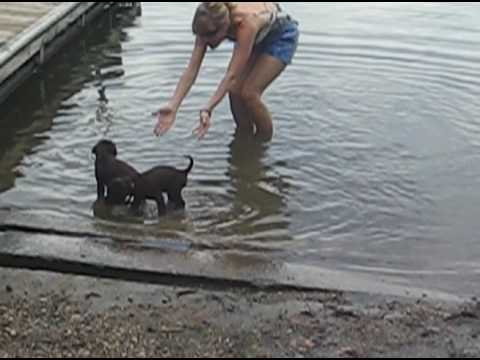 Chocolate lab puppies first time swimming!