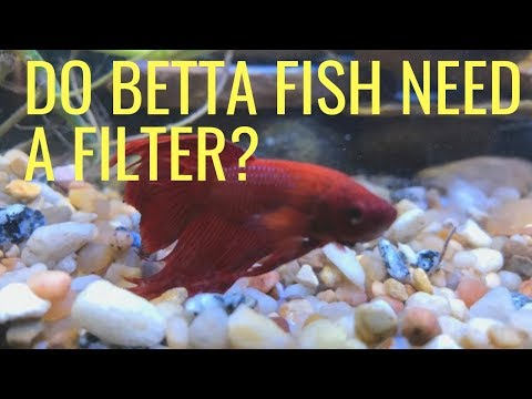 Do Betta Fish Need A Filter