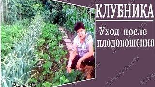 Клубника выращивание . Уход за клубникой после плодоношения
